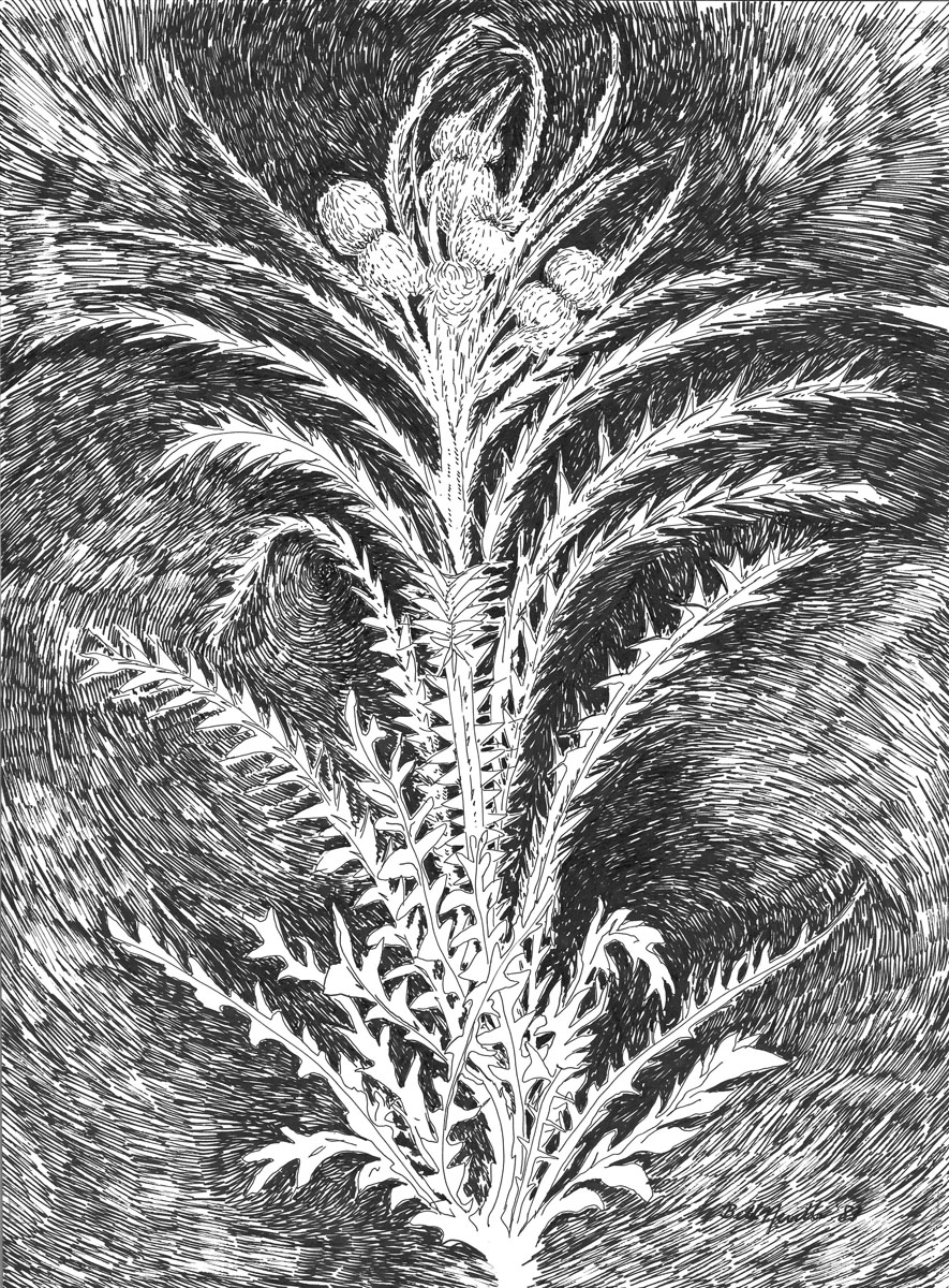 drawing: Thistle