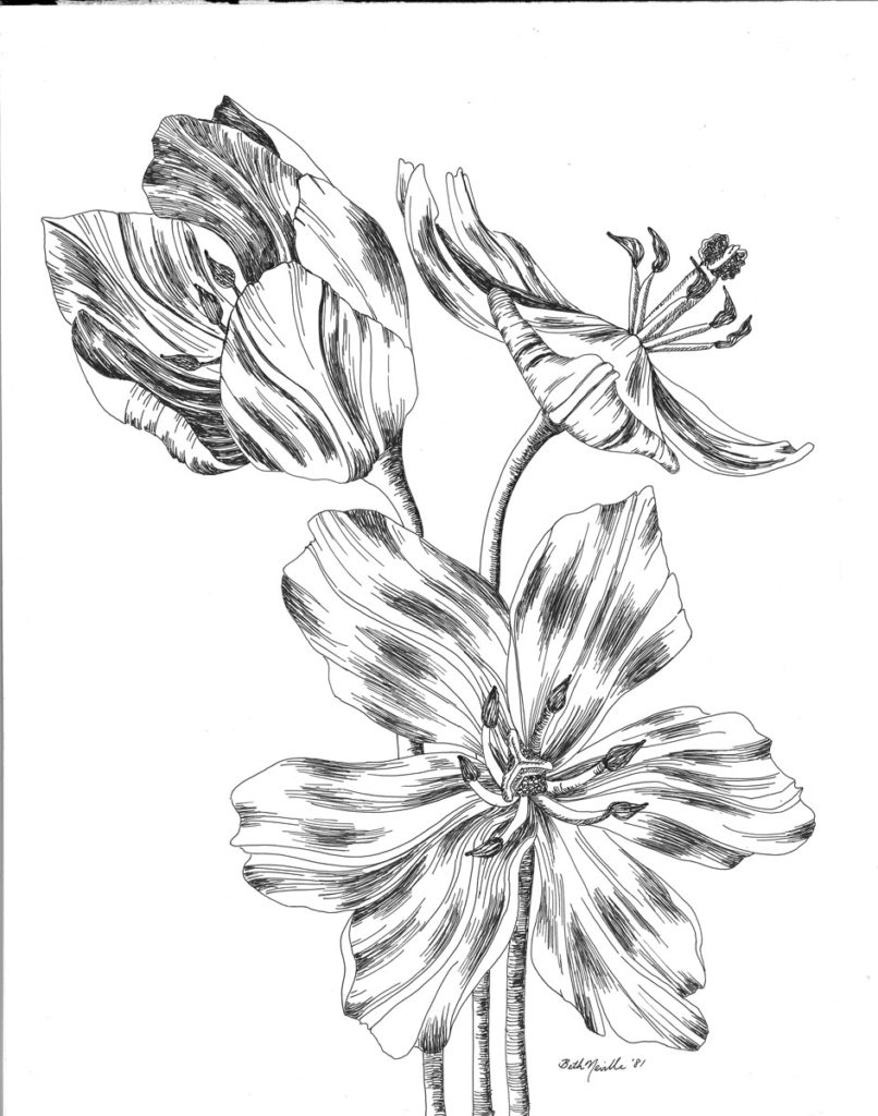 ink drawing: Full Blown Tulips