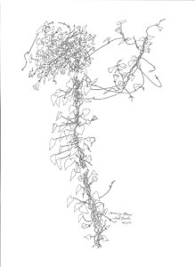 ink drawing: Morning Glory Vine