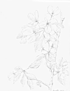 graphite drawing: Apple Blossoms