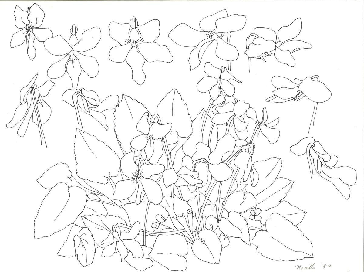 pen drawing: Wild Violets