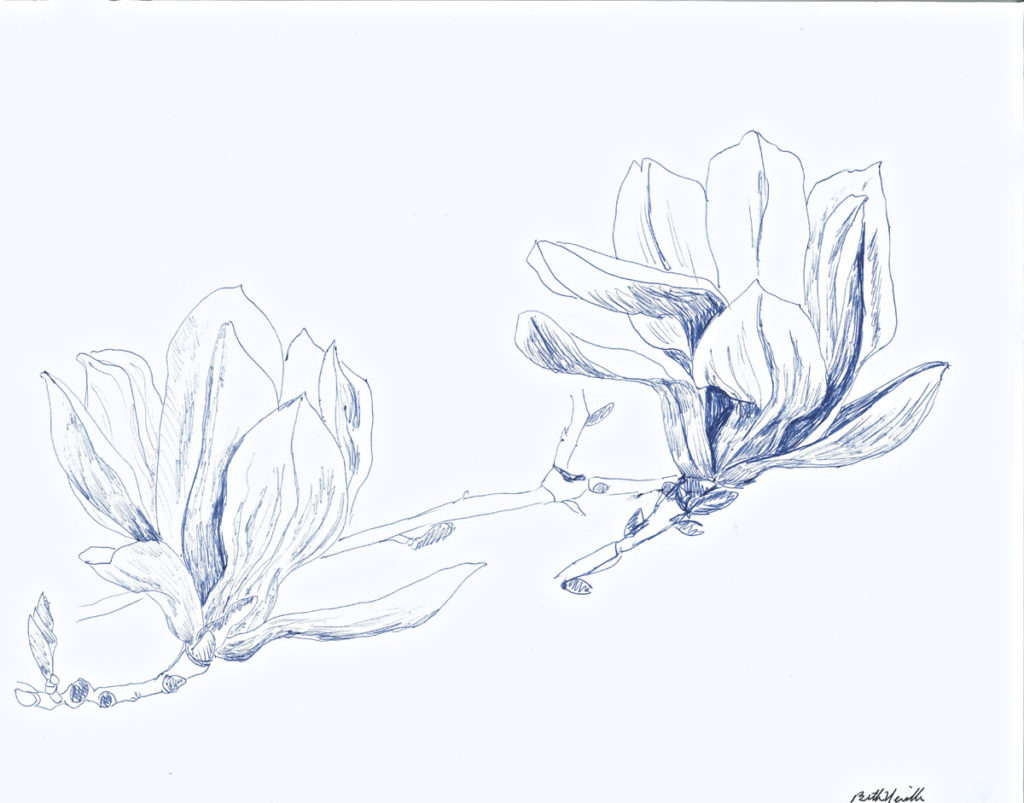 pen drawing: Magnolia #2