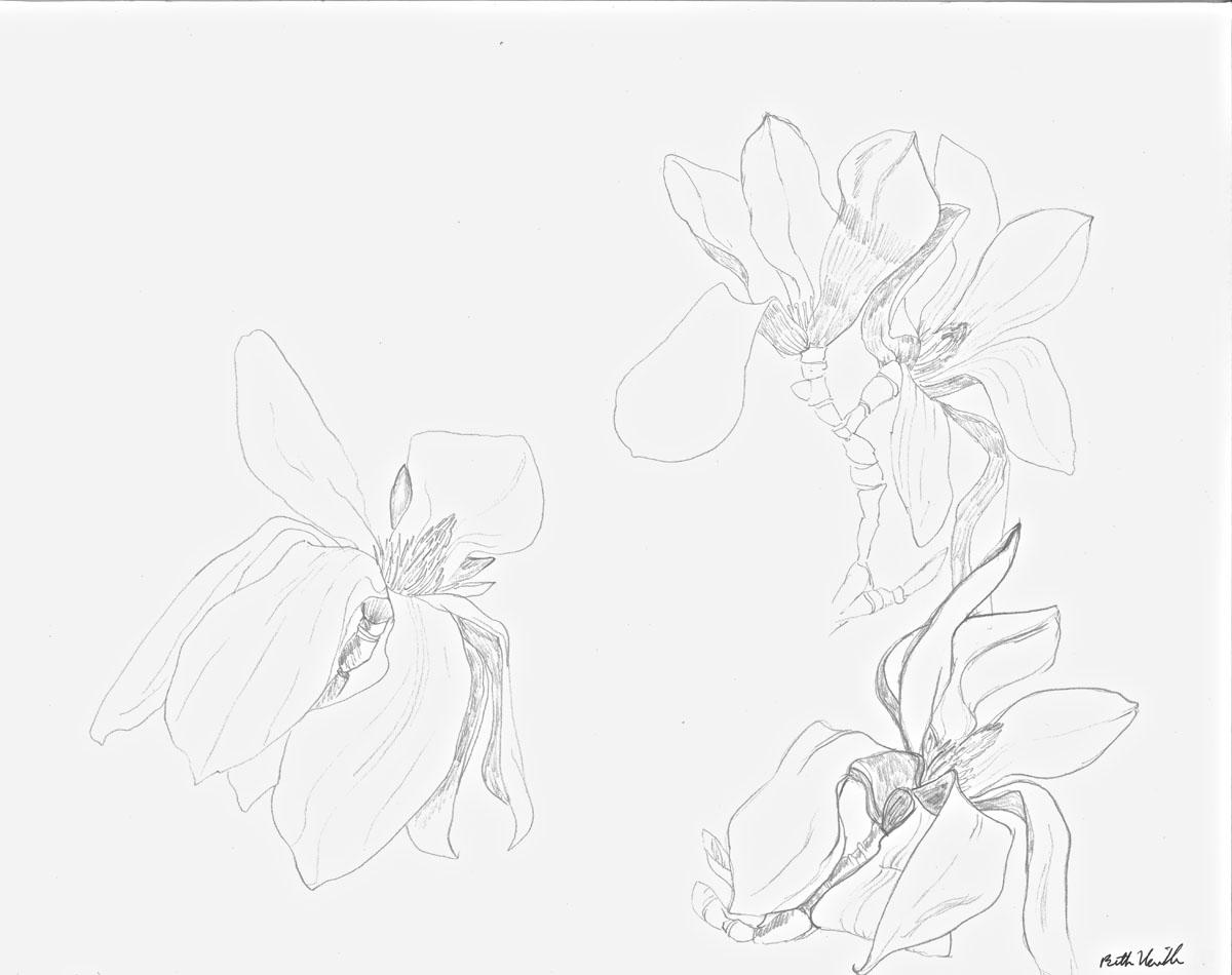 graphite drawing: Magnolia #3