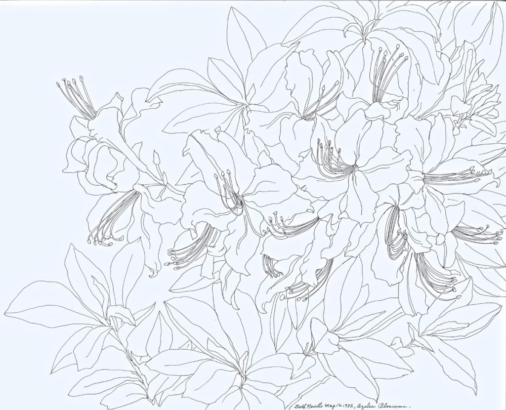 pen drawing: Azalea Blossoms
