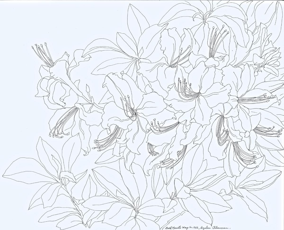 pen drawing: Azalea Blossoms
