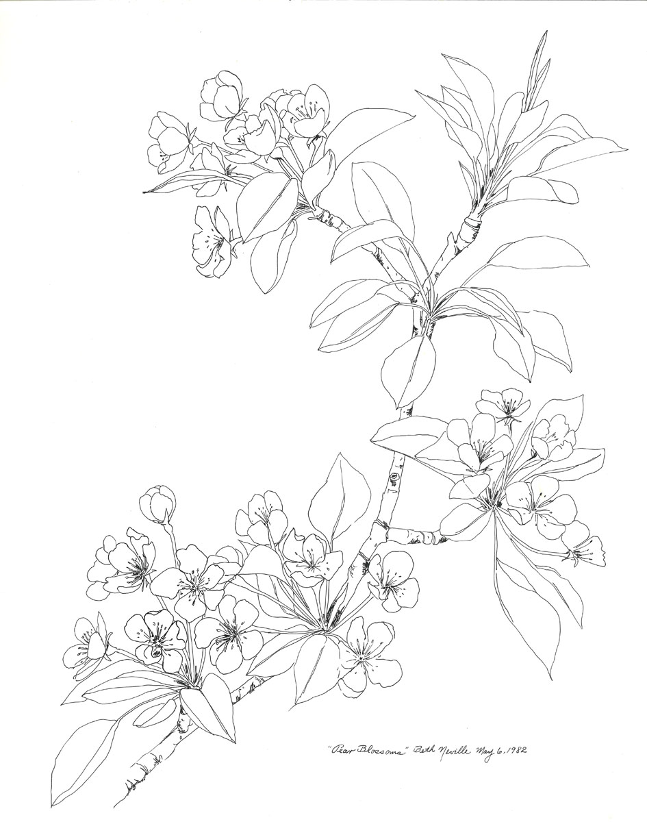 pen drawing: Pear Blossoms