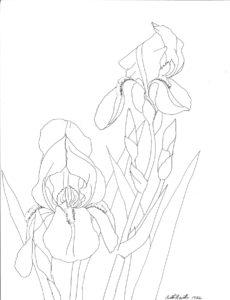 pen drawing: Bearded Iris