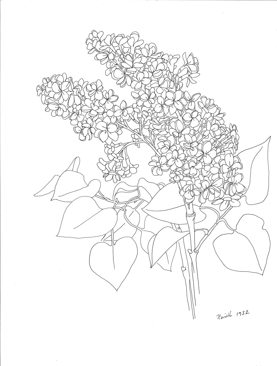 pen drawing: French Lilac