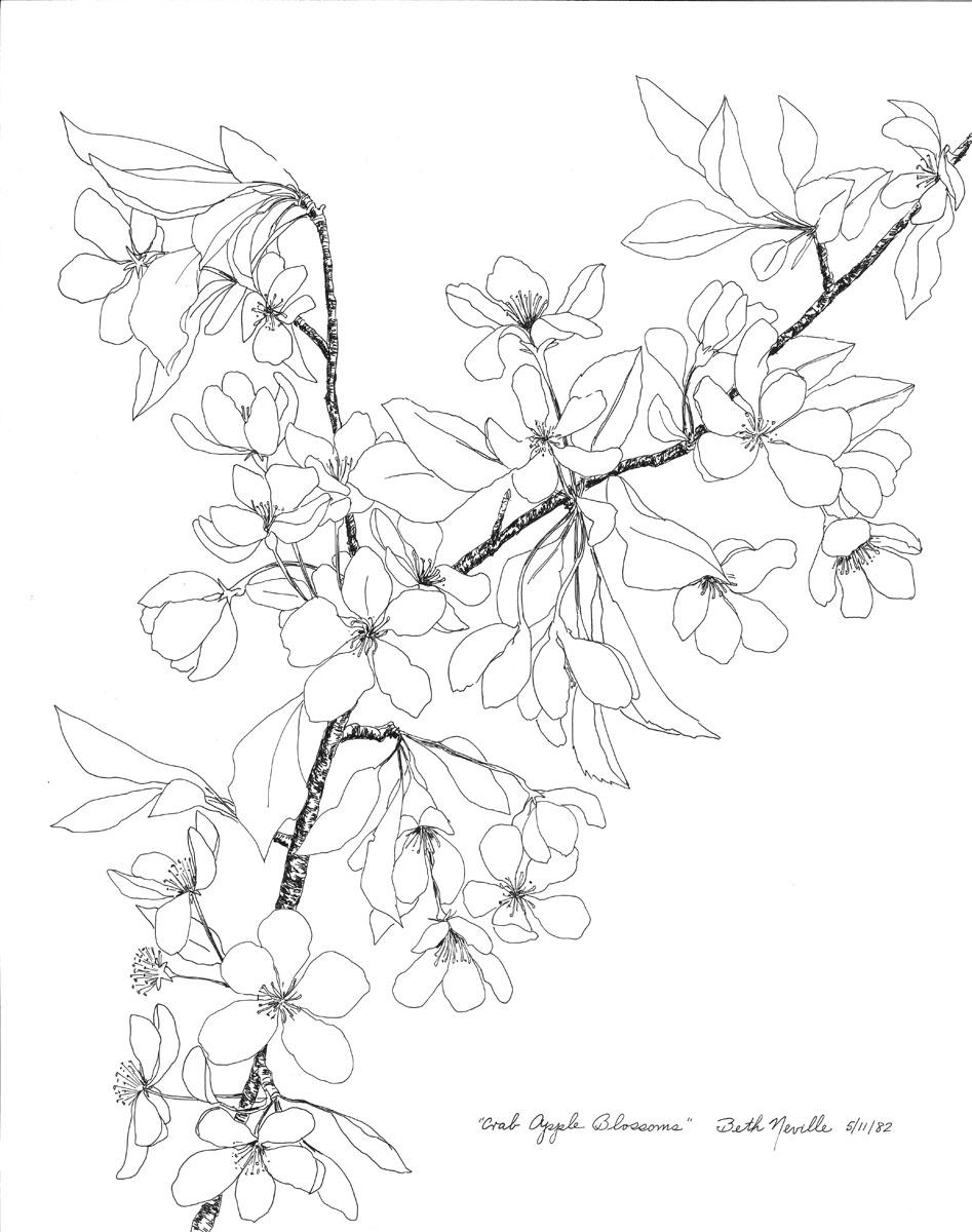 pen drawing: Crab Apple Blossoms