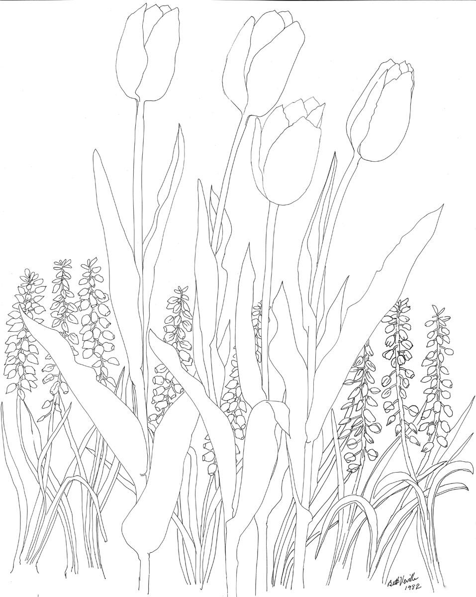 pen drawing: Tulips, Grape Hyacinths